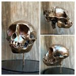 Cranial Monkey Skull Dissection (With Bell Jar)